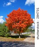 Fire Red Tree This is a vibrantly colored fall tree located on a horse farm in NJ. - stock photo