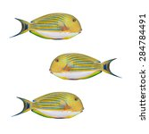 Small photo of Tropical fish isolated on a white background. The Clown Surgeonfish (Acanthurus lineatus).