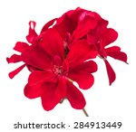 Bright Red Geranium Isolated O...