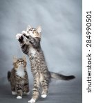 Stock photo little playful kittens 284990501