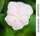 Small photo of Soft pink vinca flower