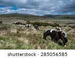 Wild Pony Horse Grazing In Moo...