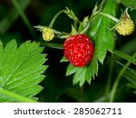 Fragaria Vesca  Commonly Calle...