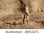 Madagascar Suricata On A Golde...