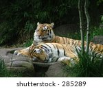 two tigers | Shutterstock . vector #285289