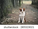 Stock photo australian shepherd puppy sitting on forest way shallow depth of field 285323021