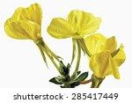 Yellow Evening Primroses ...