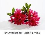 Red Azalea  Blossoms
