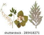 set of wild dry pressed flowers ... | Shutterstock . vector #285418271