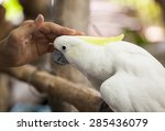 Sulphur Crested Cockatoo Be...
