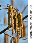Small photo of Spring. Alder catkins (lat. Alnus) close up