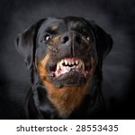 Rottweiler The Girl Of 6 Years...