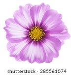 Studio Shot Of Fuchsia Colored...