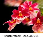 Cambria. Red And White Orchid...