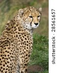 Small photo of Close up of Cheetah (Acinonyx jubatus soemmeringii)