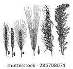 cereals  vintage engraved...   Shutterstock .eps vector #285708071