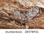 Small photo of Mating behavior of timberman, Acahthocinus aedilis on wood
