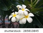 white leelawadee in park with... | Shutterstock . vector #285813845