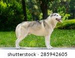 husky portrait | Shutterstock . vector #285942605