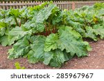 Rhubarb Plants Growing In A...