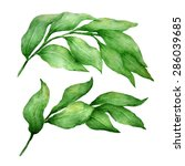 watercolor hand drawn ruscus... | Shutterstock . vector #286039685