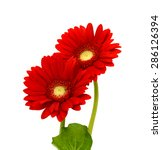 Two Beautiful Red Daisies On A...