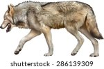 timber wolf walking  old... | Shutterstock .eps vector #286139309