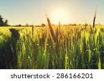 wheat | Shutterstock . vector #286166201