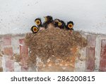 Barn Swallow Nest With Six...