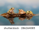 Three Peacock Tree Frogs On A...