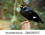 Greater Hill Mynah Perching On...
