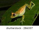 green toad  ecuador  pastaze... | Shutterstock . vector #286337