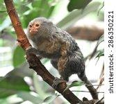 pygmy marmoset  cebuella... | Shutterstock . vector #286350221