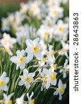 Daffodisl In The Spring