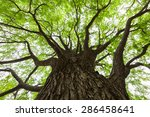 fresh green ginkgo tree | Shutterstock . vector #286458641