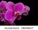 orchid phalenopsis | Shutterstock . vector #28648627