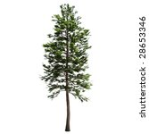 Pine Tree Isolated