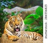 sumatran tiger roaring | Shutterstock . vector #286556825