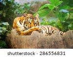 sumatran tiger roaring   Shutterstock . vector #286556831