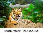 sumatran tiger roaring | Shutterstock . vector #286556855