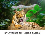sumatran tiger roaring   Shutterstock . vector #286556861