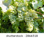 green grapes on the vine | Shutterstock . vector #2866518