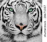 white tiger | Shutterstock . vector #28671337