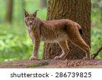 Eurasian Lynx  Lynx Lynx  Is A...