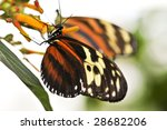 Large Tiger Butterfly Sitting...