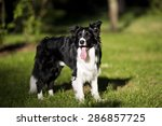 border collie outdoors on a... | Shutterstock . vector #286857725