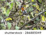 Small photo of Abyssinian catbird (Parophasma galinieri)