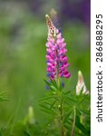 Pink Lupine.