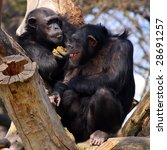 Two Adult Chimpanzees In Zoo...