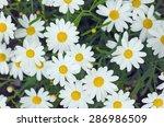 Daisy Flower Background. Daisy...